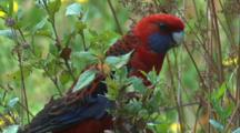 A Crimson Rosella Flies Off A Bush