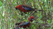 A Pair Of Crimson Rosellas Eat Flower Buds In The Scrub