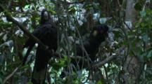 Two Cockatoos Play Around On A Branch In The Rainforest
