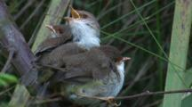 Three Fairy-Wren Chicks Await Food-Drops By Their Parents