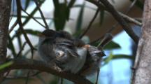 A Fairy-Wren Chick Hops Over Another To Change Place