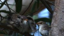 A Fairy-Wren Female Checks Up On Her Three Chicks