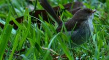 A Fairy-Wren Female Forages In The Grass