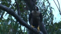 A Peregrine Falcon Calls, Perched On A Branch