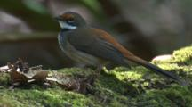 A Rufous Fantail Takes Off From A Mossy Fallen Tree