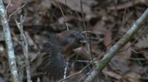 A Fantail Chick, Perched On Twigs, Gets A Lot Off Attention From Its Parents