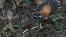 A Fantail Chick Receives An Energy Boost For Its Flight Exercises