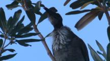 A Noisy Friarbird Calls From A Tree