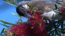 A Noisy Friarbird Forages On Bottlebrush