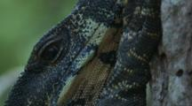 A Lace Monitor Has Its Eye On The Cameraman