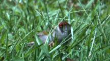 A Red-Browed Finch Forages On Grass Seeds