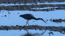 A Heron Forages For Prey On A Mudflat