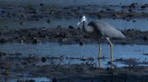 A Heron Finds A Shrimp On A Mudflat