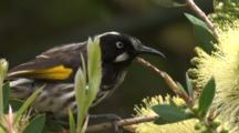 A Honeyeater Forages On Bottlebrush Bloom And Flies Off