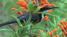 A Spinebill Forages On Tubular Flowers And Flies Off