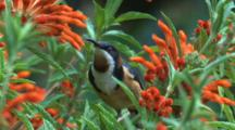 A Spinebill Forages On Tubular Flowers