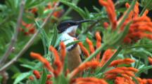 A Spinebill, Perched On A Flower Bush, Looks Around And Flies Off