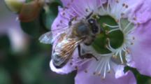 A Honeybee Forages On A Flower