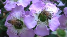 Honeybees Forage On A Flowers And Fly Off