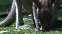 A Female Kangaroo With A Joey In The Pouch Grazes On A Meadow