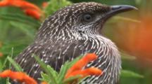 A Wattlebird, Perched On A Flower Bush, Leaves