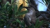 A Wattlebird Forages On Banksia Bloom, While Keeping An Eye On Surroundings
