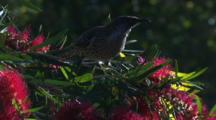 A Wattlebird Forages On A Bottlebrush Bush