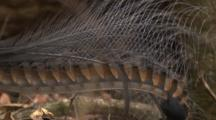 The Tail Feathers (Lyre) Of A Male Superb Lyrebird