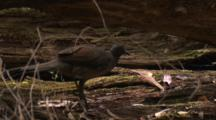 A Female Lyrebird Forages In A Large Decomposing Fallen Tree
