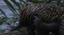 An Echidna Scratches Itself Before Walking On