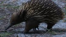 An Echidna Forages On The Forest Floor