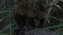 An Echidna Walks Over A Fallen Tree