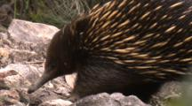 An Echidna Forages Under Rocks