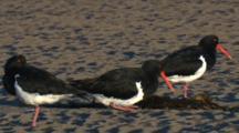 Three Pied Oystercatchers Enjoy The Late Afternoon Sun