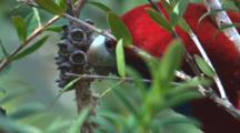A Rosella Nibbles On Bush Produce