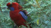 A Rosella Feeds On Bush Produce