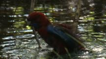A Rosella Takes A Bath In A Puddle