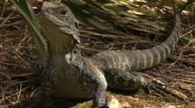 A Water Dragon Rests Near A Creek Bed