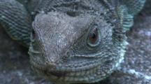 An Ultra-Close Shot Of A Female Water Dragon (Head Only)