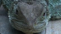 Ultra-Close Shot Of A Female Water Dragon (Head Only)