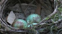 A Robin Laid Three Eggs Into A Cup-Shaped Nest