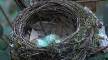 A Robin Laid Three Eggs In Its Cup-Shaped Nest