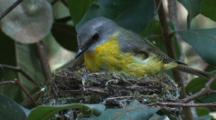 A Robin In The Nest Gets Up And Looks Down To Its Tiny Offspring