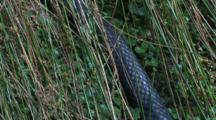 The Body Of A Black Snake Glides Through Tall Grass