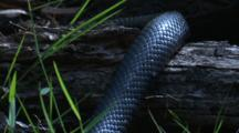 The Body Of A Black Snake Glides Onto A Fallen Tree
