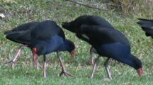 A Flock Of Swamphen Forage On Grass Roots
