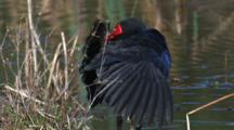 A Swamphen Preens On The Shore Of A Pond