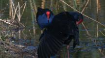 Swamphen Preen On The Shore Of A Pond