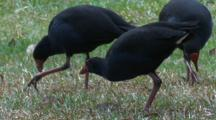 Three Swamphen Forage On Grass Roots