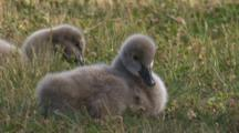 Two Cygnets Forage On Grass